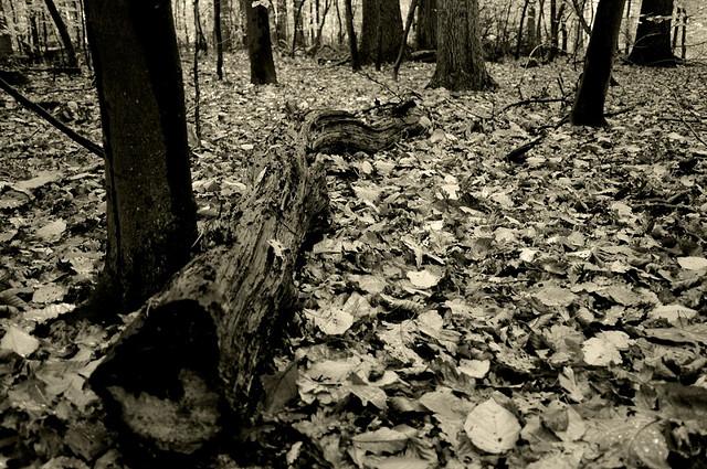Autumn forest in b&w by paulwb
